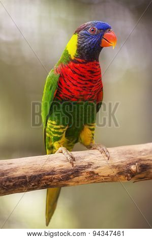 Beautiful Chattering Lory Lorius on a branch