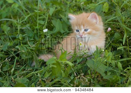 Red small kitten in grass.
