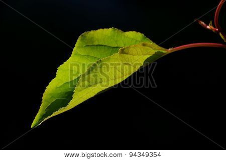 One Single Apricot Tree Leave In Back Lighting On A Black Background