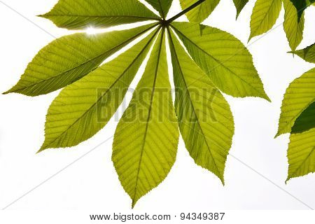 Translucent Horse Chestnut Textured Green Leaves In Back Lighting On White Background