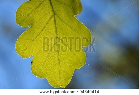 Shiny Vivid Translucent Oak Tree Leaf On Bright Blue Sky Background With Blurred Branches