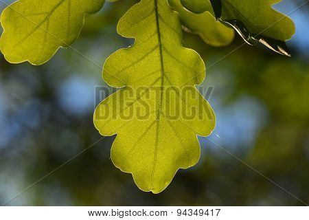 Shiny Vivid Translucent Oak Tree Leaf On Blue Sky And Green Background