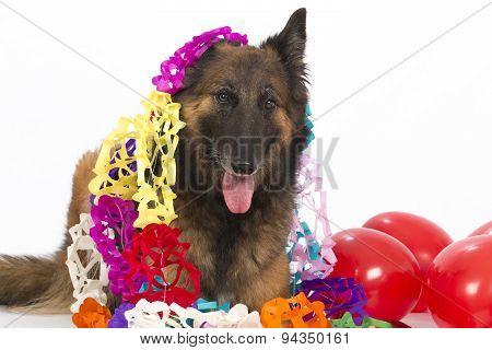 Belgian Shepherd Tervuren Dog With Balloons And Garlands, Isolated