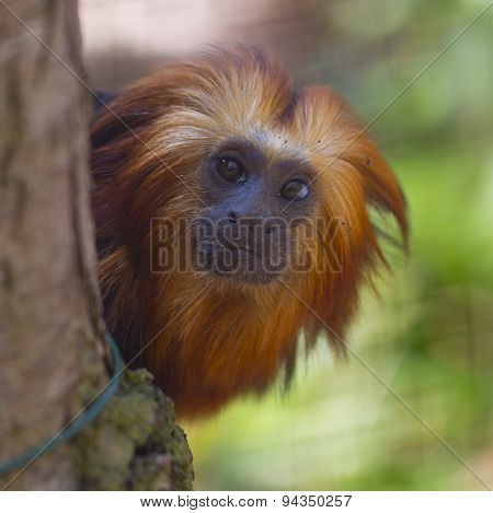 Gold Headed Lion Tamarin