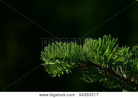 Pine Tree Branch Of Fir Needles Isolated At Black Background