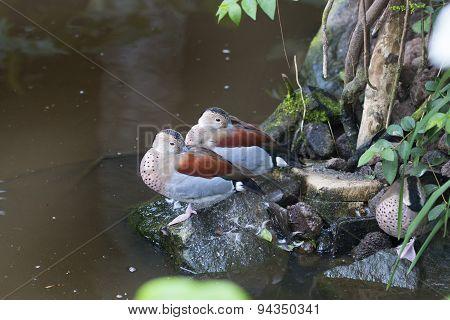 Ringed Teal, Ducks