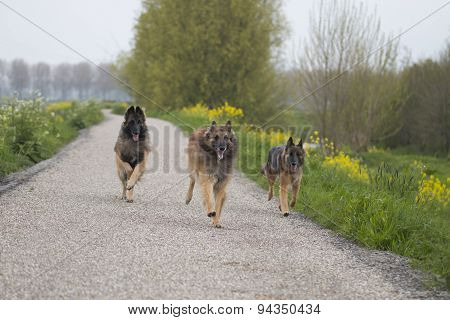 Three Belgian Shepherd Tervuren Dogs Running Outside
