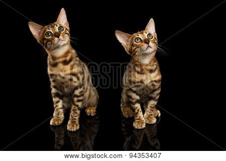 Two Bengal Kittys Looking in Camera on Black