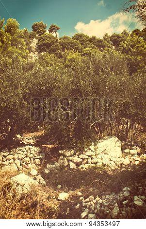 Olive Trees - Croatia - Vintage Version