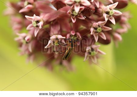 Milkweed flower and insect