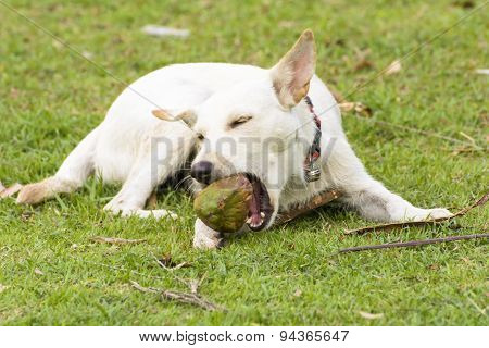 The dog is playing with the coconut that it is fun.