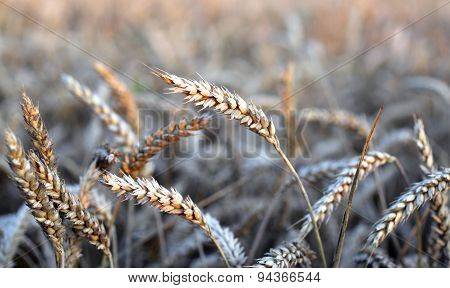Ears Of Wheat In The Immense Field In Summer