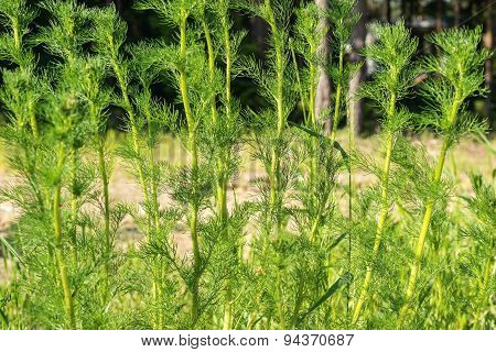 Green Stalks Of A Wild Grass Closeup