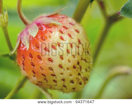 Closeup of strawberry ripening on shrub