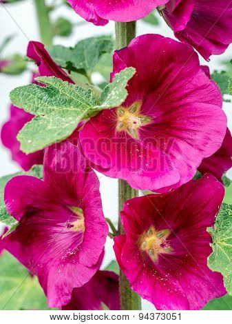 Closeup of purple hollyhock flowers