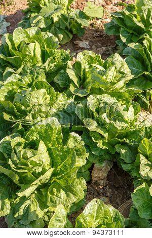 Lettuce Salad Growed