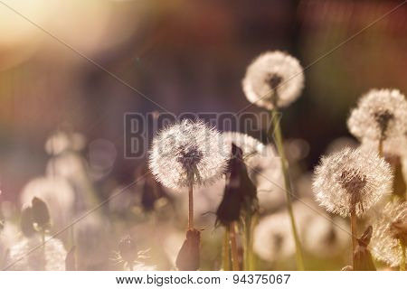 Soft focus on dandelion seeds