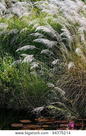 WHITE FEATHER PAMPAS GRASS PLUMES RELAXING POND TOBAGO NATURE