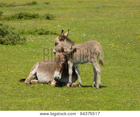 New Forest Hampshire England UK mother and baby donkey cuddling in the summer sunshine
