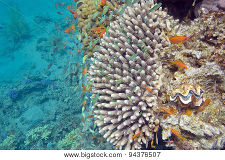 Coral Reef With Exotic Fishes Anthias And  Green Chromis, Underwater