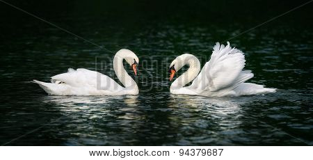 Two Swans Shining On Dark Water