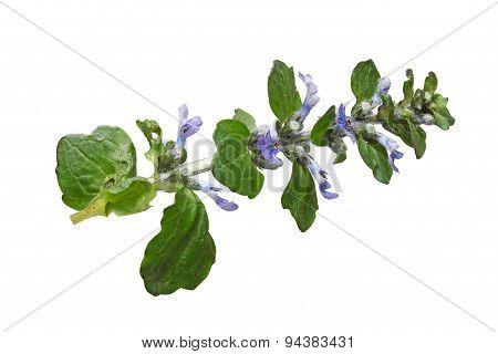Ajuga Reptans Flower