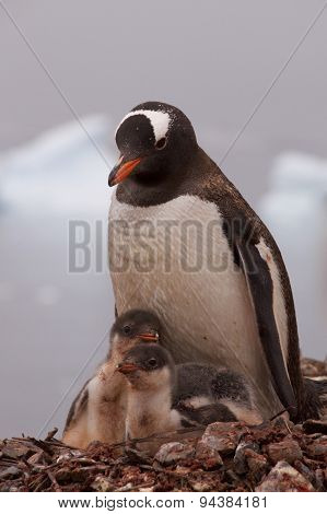 Mother Gentoo Penguin with Her Babies in Antarctica