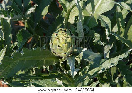 Artichoke In Plant