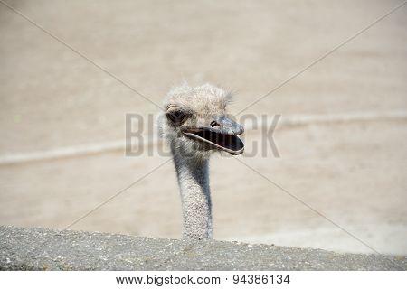 Ostrich's Head