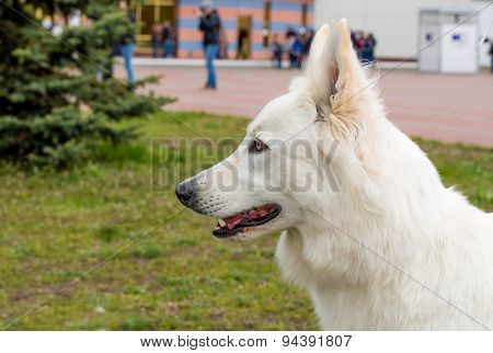White Shepherd portrait.