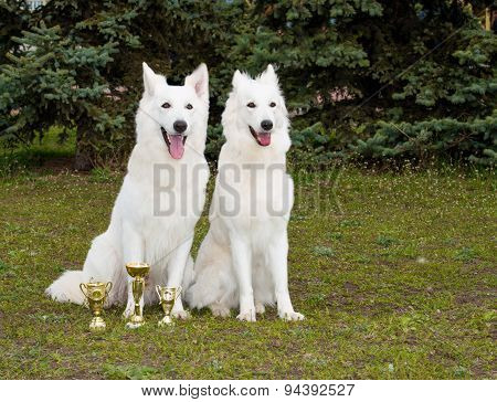 White Shepherds two friends.