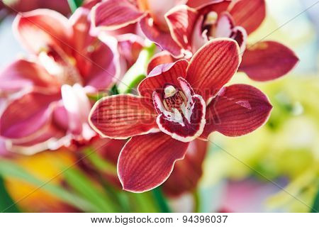 Close-up red brawn orchid flower bud with bird like inner shape of petal. Shallow DOF
