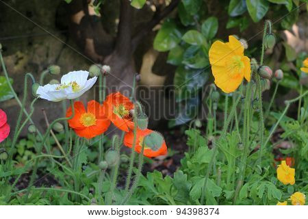 Buds and colorful flowers of poppies in garden