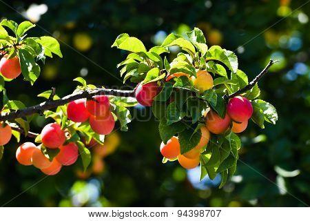 Branch Of Plum Tree