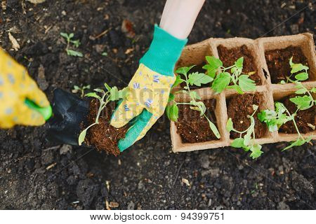 Female farmer replanting tomato seedlings