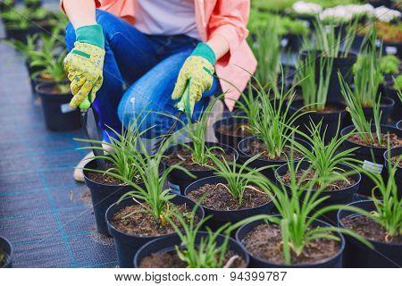 Female in gloves replanting seedlings