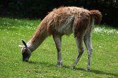 foto of lamas  - Guanaco  - JPG