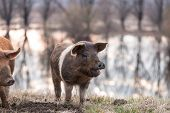 foto of pig-breeding  - Happy mangulista funny pig on the field looking away - JPG