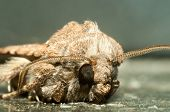 stock photo of moth  - Night Insect Brown Moth Close Up Picture - JPG