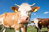 image of cow  - Two cows looking at the camera in the backgrownd group of cows - JPG