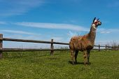 foto of lamas  - Lama posing in front of the wooden fence on the countryside - JPG