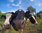 picture of paysage  - Trois vaches en gros plan en train de brouter dans le pr - JPG