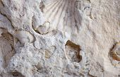 picture of exoskeleton  - coquina background old fossil limestone resources paleontology ancient - JPG