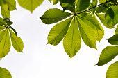 image of chestnut horse  - Frame of translucent horse chestnut textured green leaves in back lighting on white background with sun shine flare  - JPG