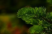 stock photo of pine-needle  - Pine tree branch of fir needles at dark colorful background - JPG