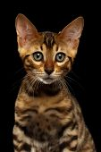 foto of kitty  - Closeup Bengal Kitty Looking in Camera on Black Background - JPG