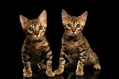 picture of kitty  - Two Bengal Kitty Looking in Camera on Black Background - JPG