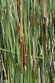 stock photo of cattail  - A group of cattails in a marsh for background use - JPG