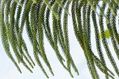stock photo of conifers  - Araucaria heterophylla or star pine triangle tree or living Christmas tree is a distinctive conifer - JPG