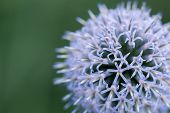 stock photo of backround  - globe thistle at a green backround closeup  - JPG